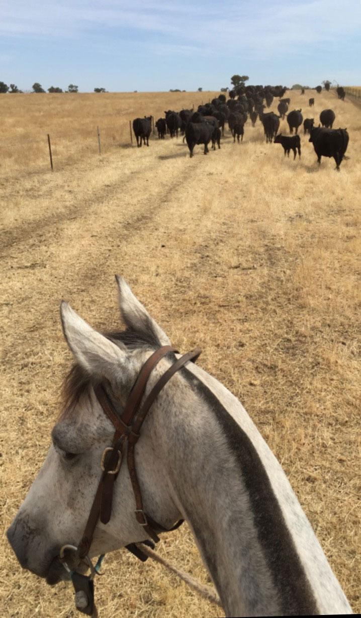 cattlehorse-copy